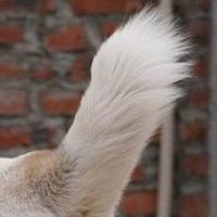 中亚牧羊犬尾巴图片