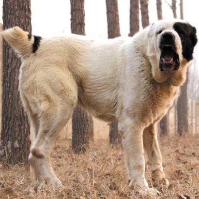 中亚牧羊犬整体图片