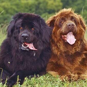 纽芬兰犬颜色图片
