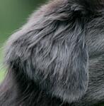 纽芬兰犬耳朵图片