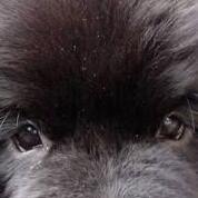 纽芬兰犬眼睛图片