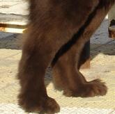纽芬兰犬后驱图片