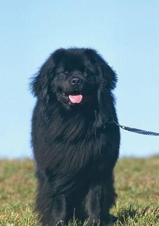 纽芬兰犬幼犬图片