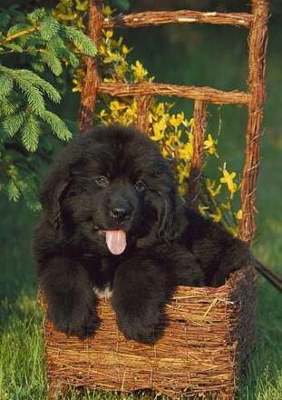 可爱的纽芬兰犬图片