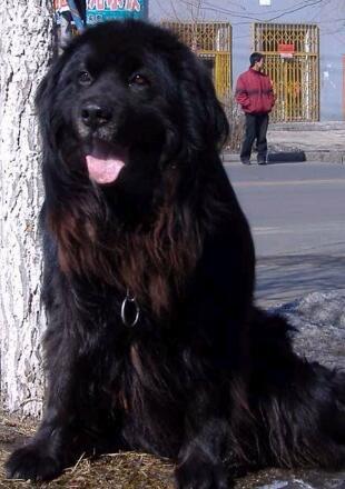 成年纽芬兰犬图片