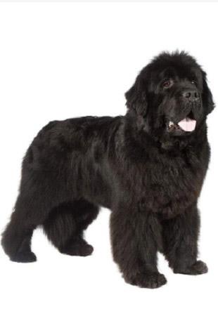 标准纽芬兰犬图片欣赏
