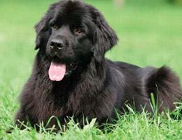 纽芬兰犬多少钱