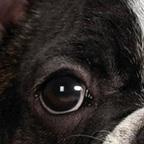 法国斗牛犬眼睛图片