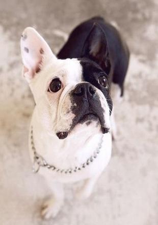 纯种法国斗牛犬图片