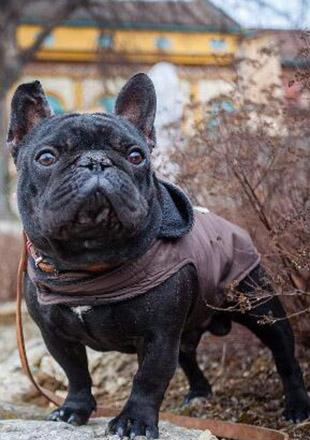 标准法国斗牛犬图片欣赏