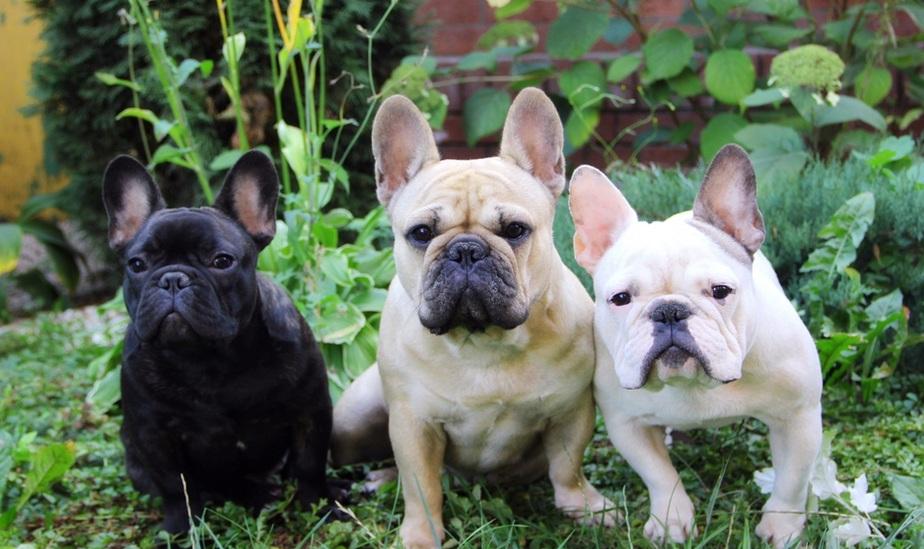 法国斗牛犬幼犬图片
