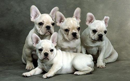 可爱的法国斗牛犬图片