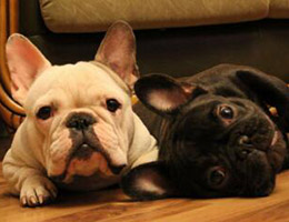 法国斗牛犬图片