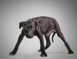 美国斗牛犬图片