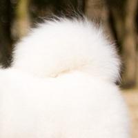 萨摩耶尾巴图片