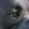 美国恶霸犬眼睛图片