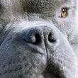 美国恶霸犬鼻子图片