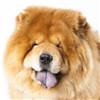 松狮犬头部图片
