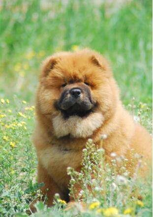 可爱的松狮犬图片