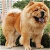 松狮犬整体图片