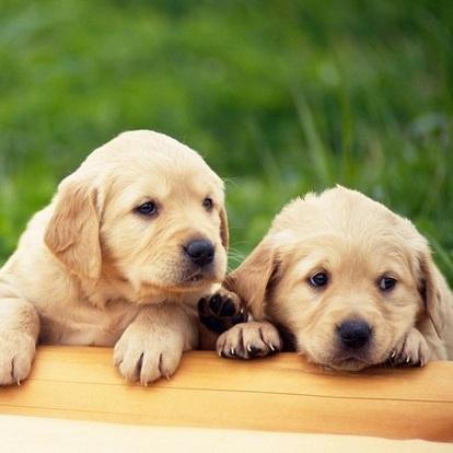 金毛犬颜色图片
