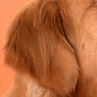 金毛犬耳朵图片
