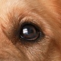 金毛犬眼睛图片