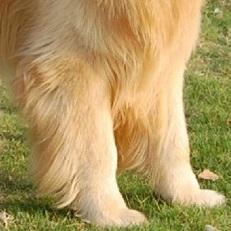 金毛犬前驱图片