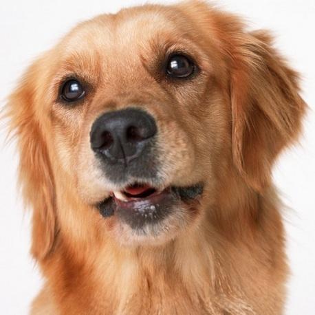 金毛犬头部图片