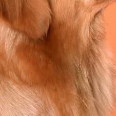 金毛犬颈部图片