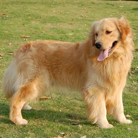 金毛犬整体图片