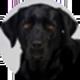 拉布拉多犬遮罩