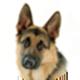 德国牧羊犬遮罩