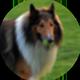 苏格兰牧羊犬遮罩