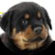 罗威纳犬遮罩