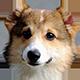 柯基犬图片