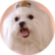 马尔济斯犬遮罩