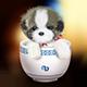 茶杯犬图片