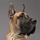 大丹犬图片