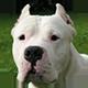 杜高犬图片