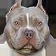 美国恶霸犬