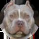 美国恶霸犬遮罩