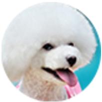貴賓犬(quan)