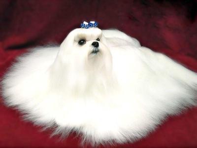 超级可爱马尔济斯犬 小型马尔济斯宝宝出售
