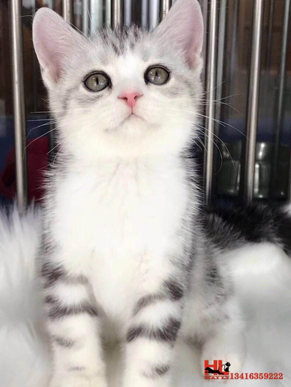 自家繁殖纯种美短 虎斑猫 起司加白 专业繁殖
