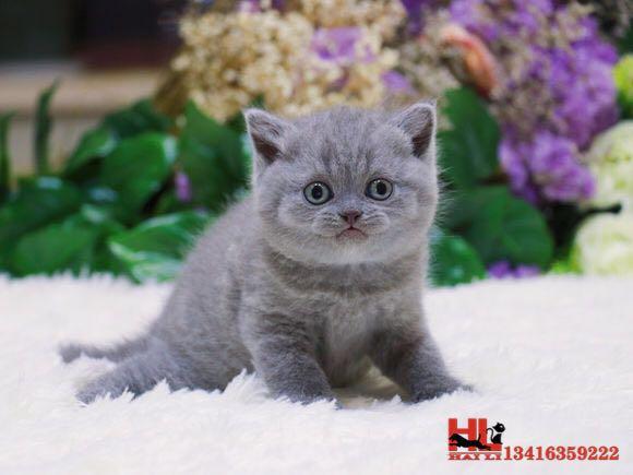 繁殖高品质纯种蓝猫 超级纯的小包子 健康无癣
