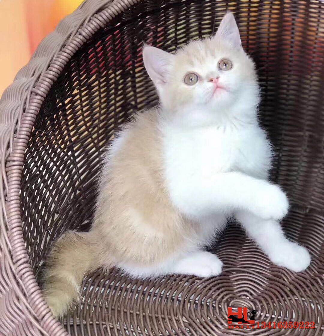 自家繁殖包纯种英国短毛猫 蓝白双色 公母都有 包健康