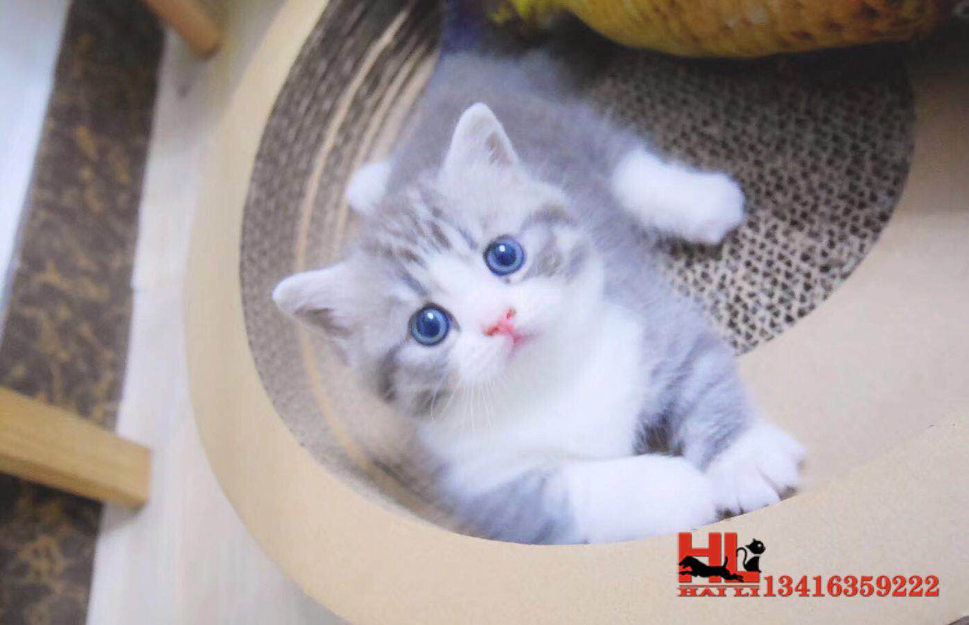 正规猫舍繁殖精品曼基康猫 包纯种健康养活