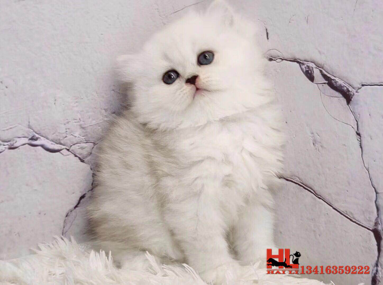 正规猫舍繁殖精品金吉拉猫猫 包纯种健康养活视频