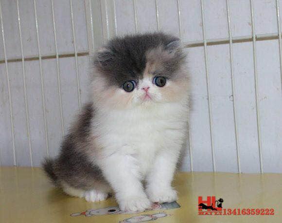纯种高品质波斯猫 自家专业繁育